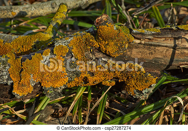 Moss on a dry tree . - csp27287274