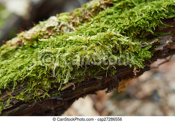Moss on a dry tree . - csp27286556