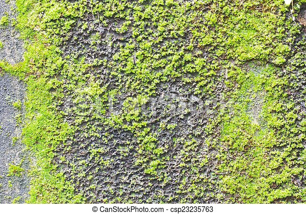 Moss on old concrete wall texture background. - csp23235763