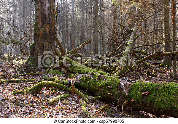 Moss wrapped broken oak tree lying - csp57998705