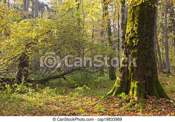 Moss wrapped maple tree in autumn morning - csp19833989