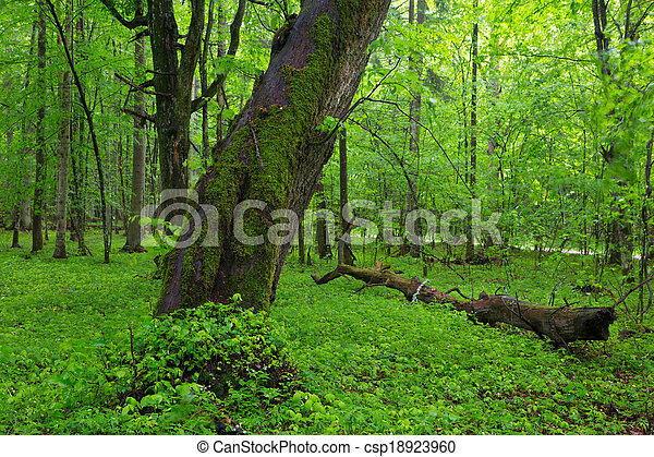 Moss wrapped old inden tree in spring - csp18923960