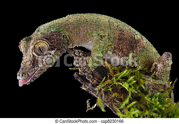 Mossy gecko on branch - csp8230166