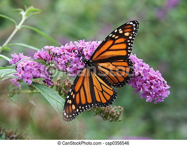 motýl, monarcha, květiny, divoký - csp0356546
