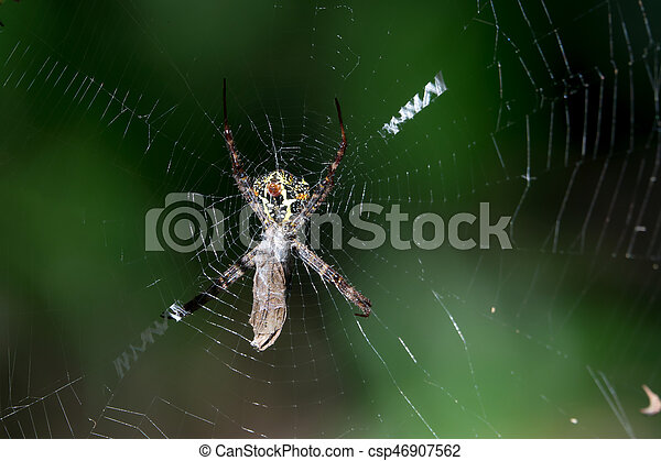 moth, attrapé, toile araignée, victime, sien - csp46907562