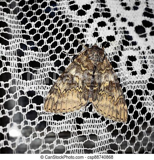 Moth on a white curtain - csp88740868
