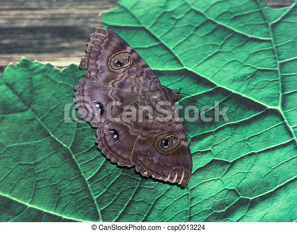 Moth - csp0013224
