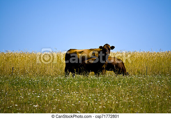 Mother cow with her young calf on a meadow in Bavaria, Germany - csp71772801