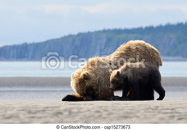 Mother Grizzly Bear with cub feeding on clamps - csp15273673