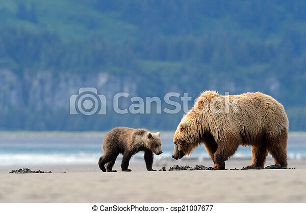 Mother Grizzly Bear with cub feeding on clamps - csp21007677