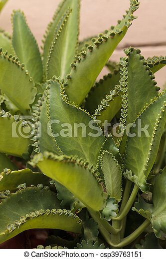Mother Of Millions Plant Mother Of Millions Scientifically