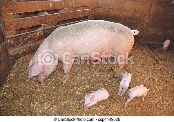 Mother pig with newborn piglets  - csp4449026
