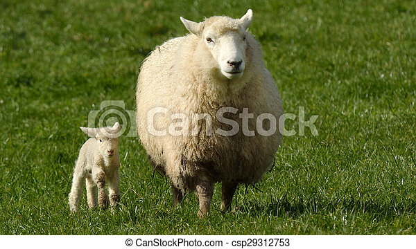 Mother sheep and her lamb looks at the camera - csp29312753