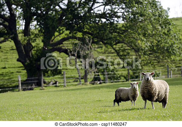 Mother sheep and her lamb - csp11480247