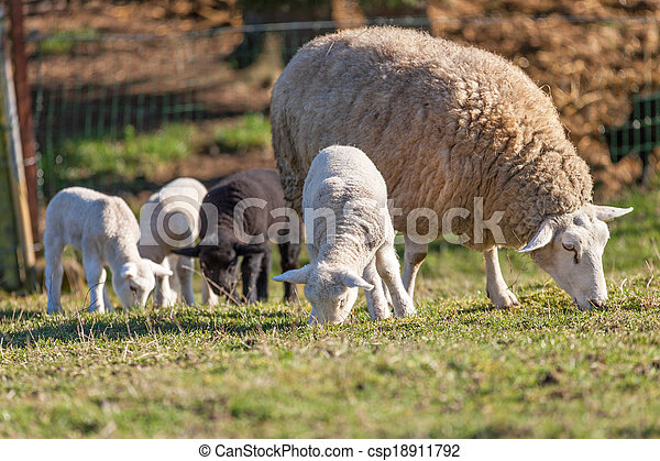Mother sheep with her lamb on a field - csp18911792