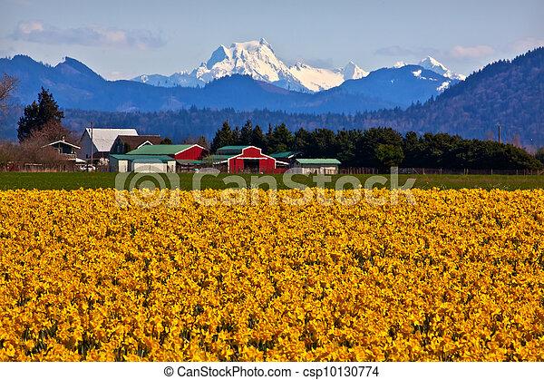 Mount Shuksan Red Farm Builiding Yellow Daffodils Flowers Snow Mountain Skagit Valley Washington State Pacific Northwest - csp10130774