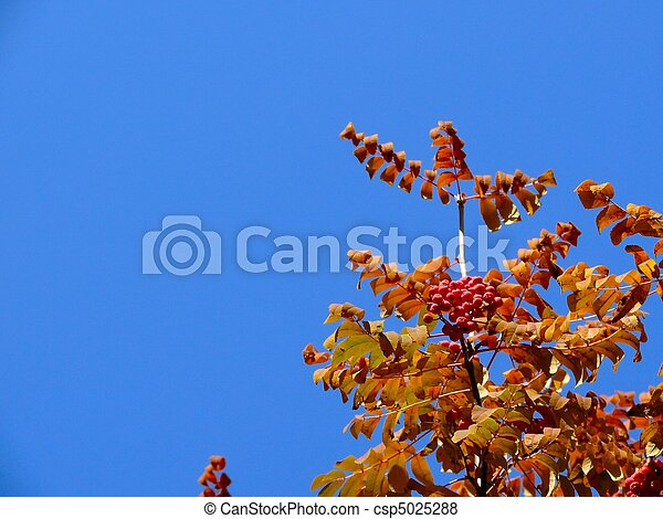 Mountain ash. Autumn. The sky. - csp5025288