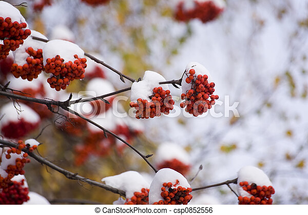 mountain ash in winter - csp0852556