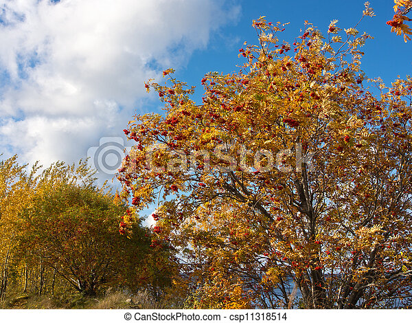 mountain ash with ripe berries - csp11318514