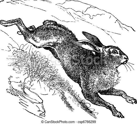 Mountain Hare (Lepus timidus) or Blue Hare vintage engraving - csp6766299