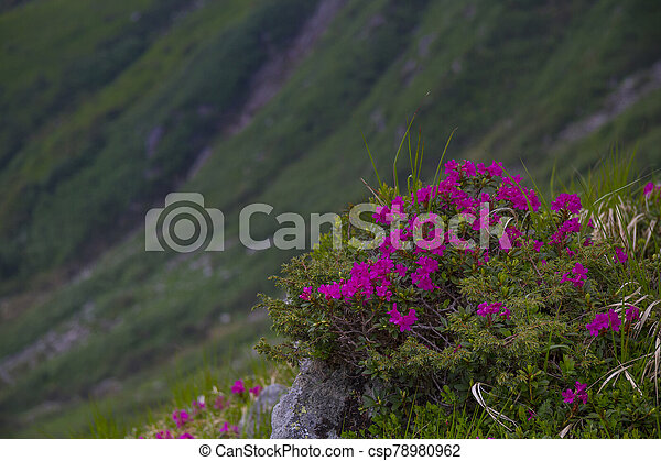 Mountain landscape with rhododendron flower - csp78980962