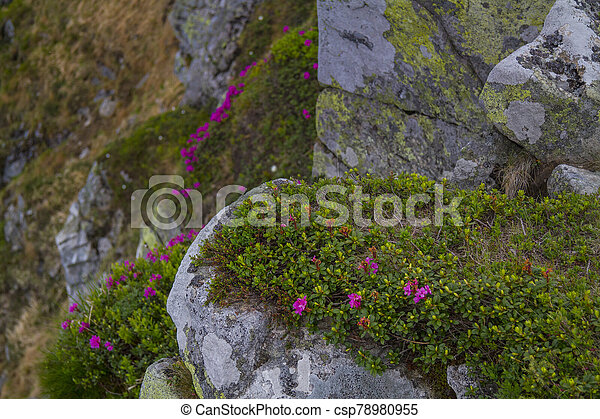 Mountain landscape with rhododendron flower - csp78980955