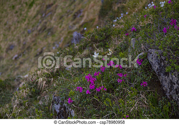 Mountain landscape with rhododendron flower - csp78980958