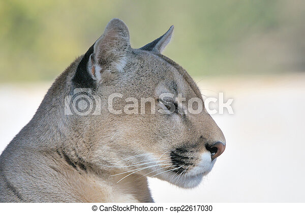 Mountain lion, puma or cougar - csp22617030