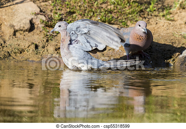 Mourning Dove sitting on a rock at a waterhole in the Kalahari - csp55318599