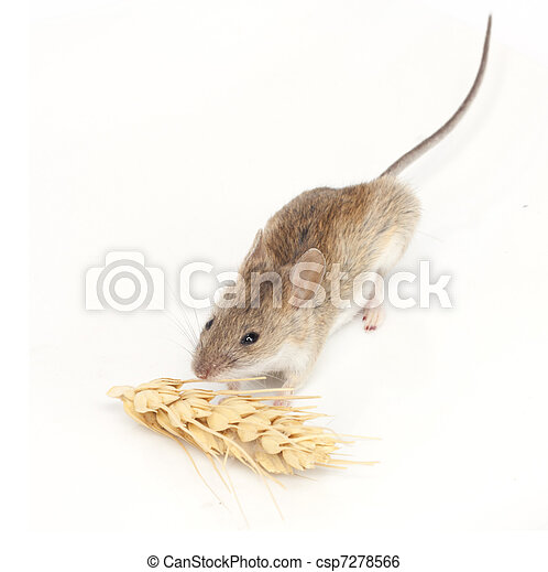 mouse eats wheat on white background - csp7278566
