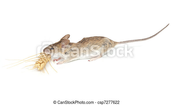 mouse eats wheat on white background - csp7277622