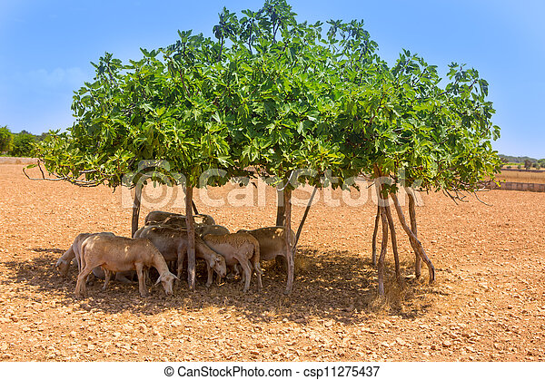 mouton, été, arbre, figue, sous, troupeau, ombre - csp11275437