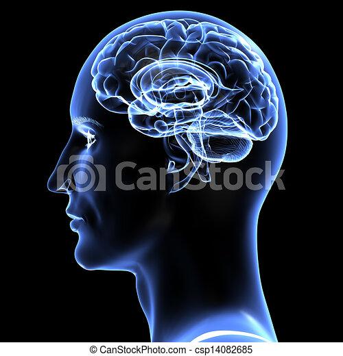 mozek, -, illustration., 3 - csp14082685