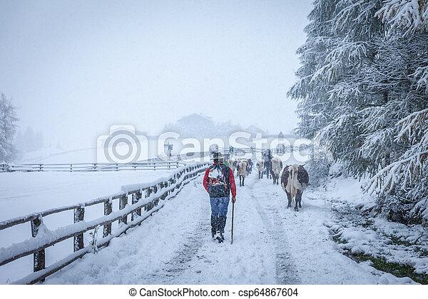 mucche, valle montagna, nevoso - csp64867604