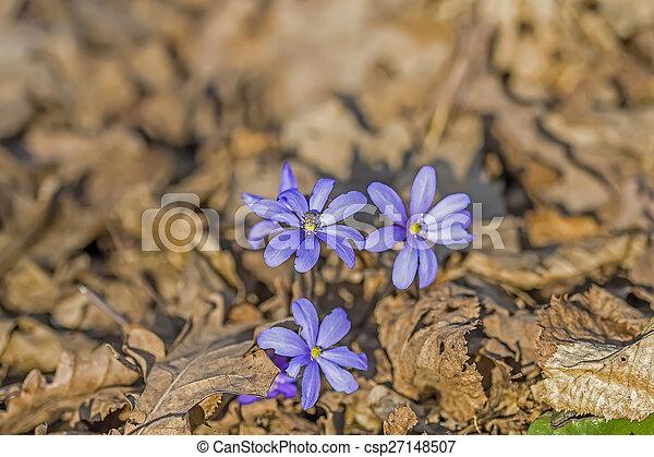 Muchas violetas en el bosque - csp27148507