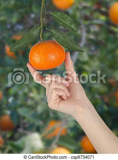 Mujer sosteniendo mandarina madura - csp9734071