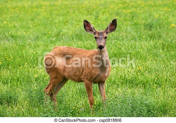 Mule Deer (Odocoileus hemionus) - csp0818806