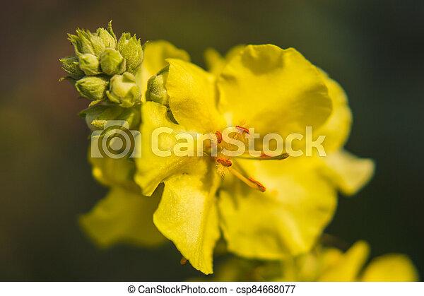 mullein, verbascum, up, květ, názor, zbabělý, -, uzavřít - csp84668077