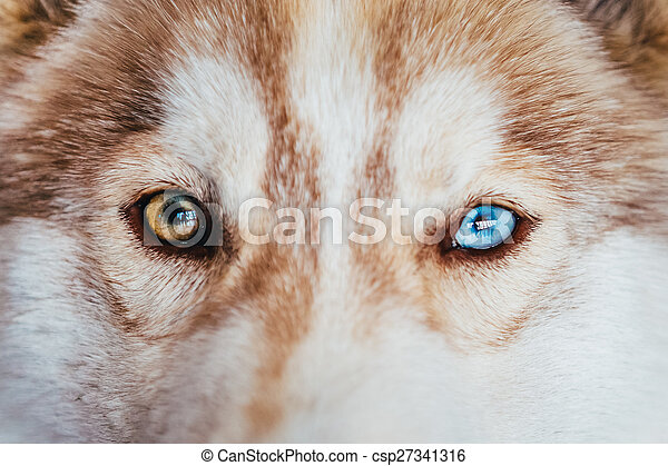 Multicolored Eyes Of A Husky Dog Puppy Close Up On Multicolored