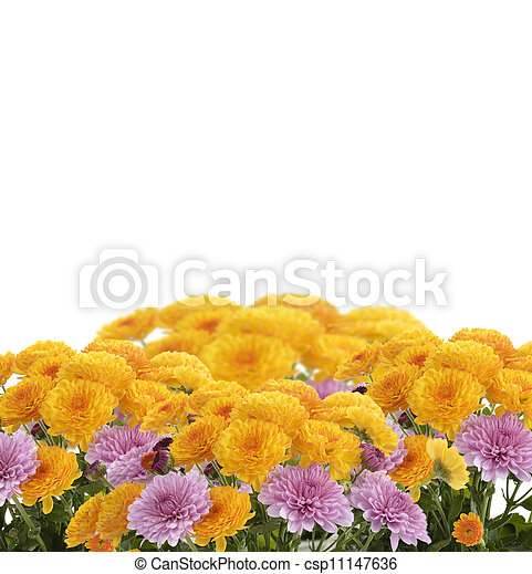 Mums Flowers - csp11147636