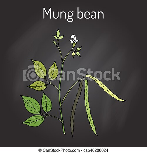 Mung bean Vigna radiata with leaves and pods - csp46288024