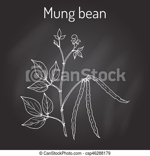 Mung bean Vigna radiata with leaves and pods - csp46288179