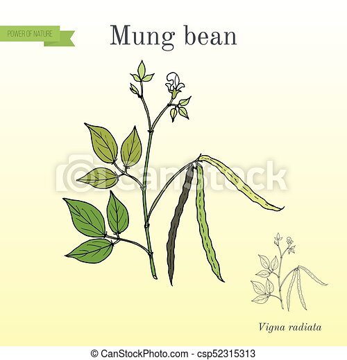 Mung bean Vigna radiata with leaves and pods - csp52315313