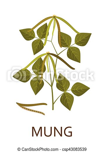 Mung plant with leaves and pods. Vector illustration - csp43083539