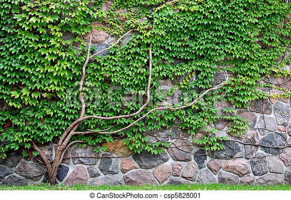 mur croissant vigne rocher mur vert plante grimpante. Black Bedroom Furniture Sets. Home Design Ideas