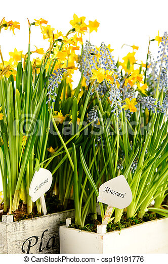 Muscari And Narcissus Spring Potted Flower Grape Hyacinth And