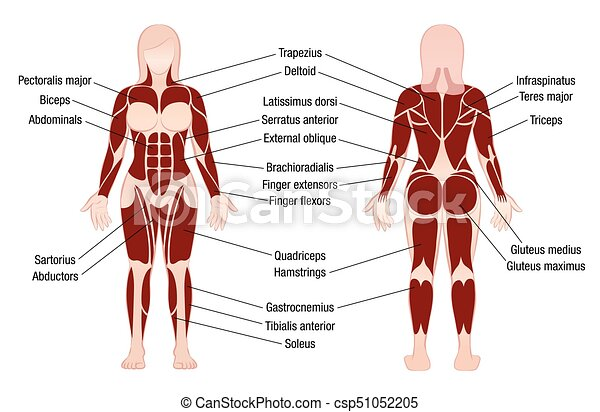 Muscles chart gallery human anatomy organs diagram muscles chart description muscular body woman muscle chart ccuart Image collections