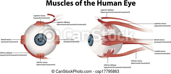 muscles, oeil, humain - csp17795863