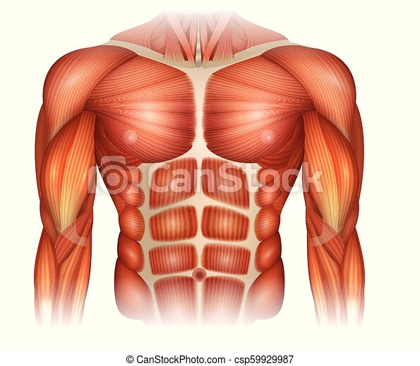 Muscles of the torso. Muscles of the human body, torso and arms ...