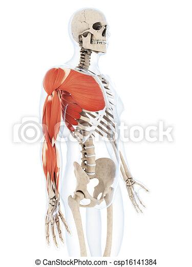 muscolatura, braccio - csp16141384